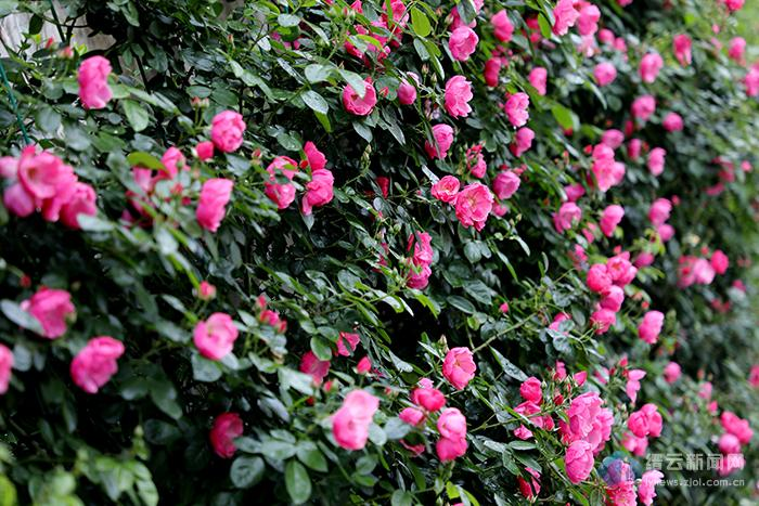 蔷薇花开惹人醉