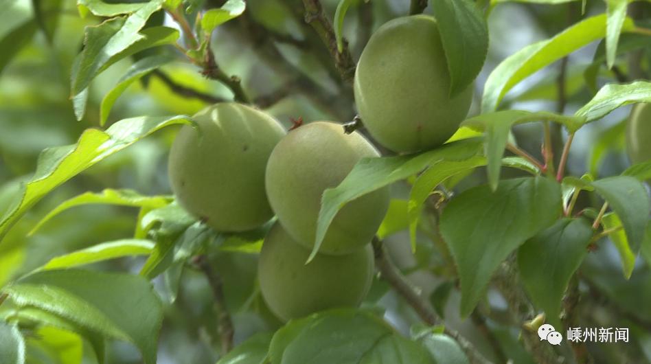 十年来产量最高!嵊州这种水果还未上市,就签下2000吨的大单!