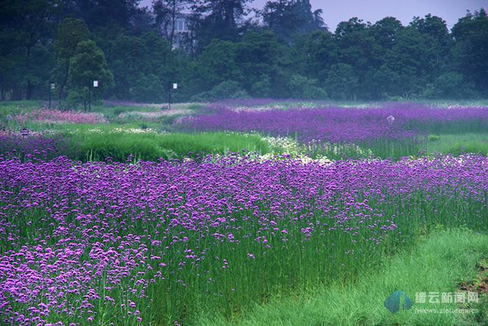 那一片紫色的浪漫花海