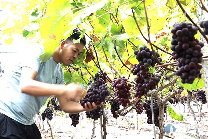 夏黑葡萄成熟上市 农户自采助增收