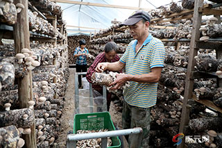 庆元香菇走俏市场