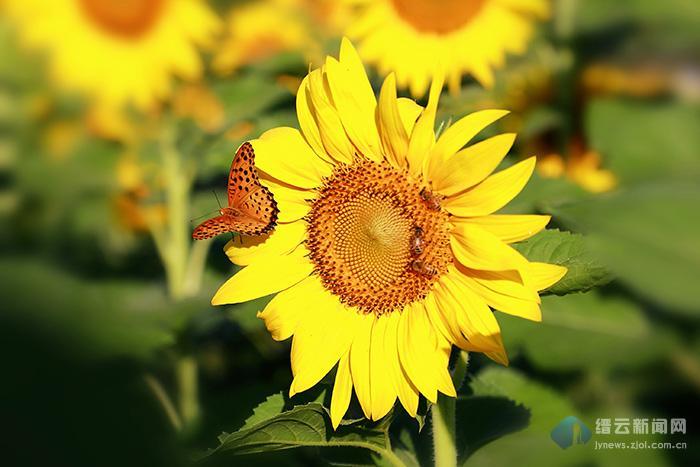 向阳花开花向阳