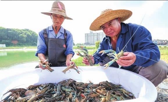 德清试验基地首批澳洲淡水龙虾种虾出网