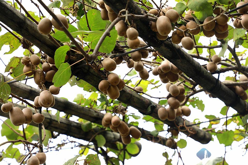 房前井栏上 一架猕猴桃