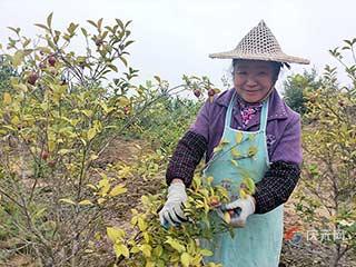 左溪千亩油茶开采 预计产量达120000斤