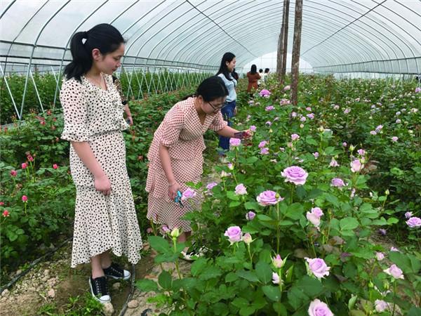 玫瑰园内花儿争相开放