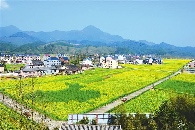 近千亩油菜花小梅镇黄南村盛开