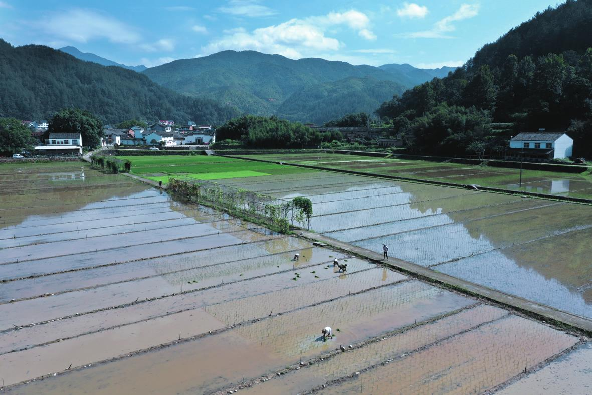 村民在种植七彩稻秧