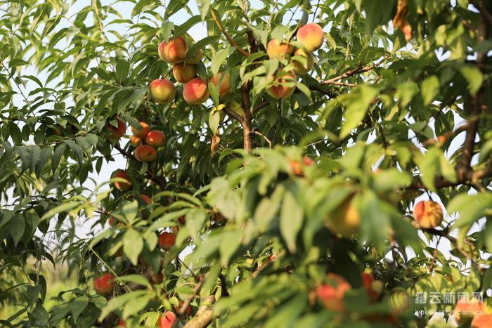 桃子喜获丰收